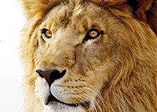 lion6711